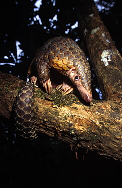 Chinese pangolin (Manis pentadactyla) in a tree at dusk, Komodo National Park, Indonesia  -  Michael Pitts/ npl