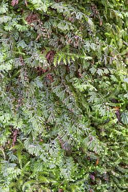 Wilsons Filmy Fern (Hymenophyllum wilsonii) Snowdonia, north Wales, UK, July  -  Adrian Davies/ npl