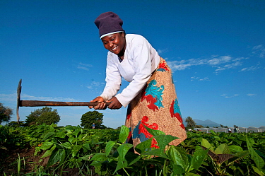 Woman weeding in a field of Green beans (Phaseolus vulgaris) on commercial farm The woman wears traditional clothing, a kitenge, wrapped around her Tanzania, East Africa December 2010  -  Cheryl-Samantha Owen/ npl