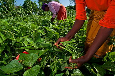 Women harvesting Green beans (Phaseolus vulgaris) on commercial farm The women wear traditional clothing (kangas and kitenge) Tanzania, East Africa December 2010  -  Cheryl-Samantha Owen/ npl