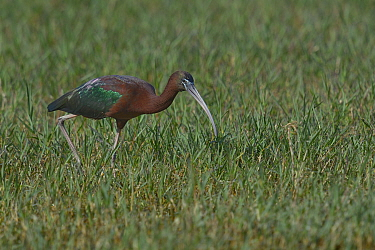 Glossy ibis (Plegadis falcinellus) feeding in grass, Keoladeo National Park, India, April  -  Loic Poidevin/ NPL
