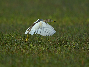 Indian pond heron (Ardeola grayii) taking off, Keoladeo National Park, India, April  -  Loic Poidevin/ NPL
