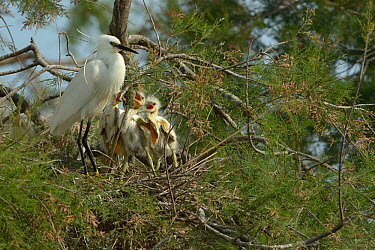 Little Egret (Egretta garzetta) chicks in nest begging for food, Pont de Gau, Camargue, France, April  -  Loic Poidevin/ NPL