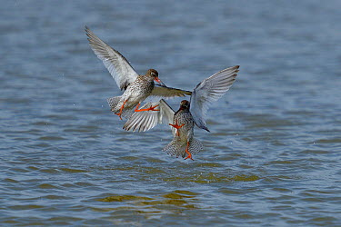 Common redshanks (Tringa totanus) fighting, Breton Marsh, France, April  -  Loic Poidevin/ NPL