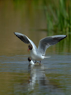 Black-headed gull (Chroicocephalus ridibundus) mating, Parc naturel regional de la Brenne, Brenne Regional Nature Park, France, April  -  Loic Poidevin/ NPL