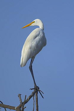 Great egret (Casmerodius albus) on a branch Keoladeo National Park, India, April  -  Loic Poidevin/ NPL