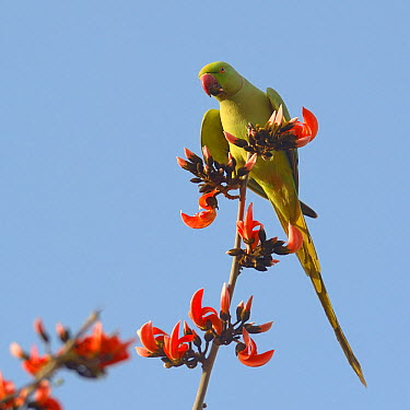 Rose ringed parakeet (Psittacula krameri) on a branch feeding on seeds, Ranthambhore National Park, India, April  -  Loic Poidevin/ NPL