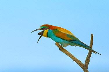 Common bee-eater (Merops apiaster) regurgitating pellet, Bouches du Rhone, France, May  -  Loic Poidevin/ NPL