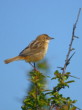 Zitting cisticola (Cisticola juncidis) on a branch Breton Marsh, West France, April  -  Loic Poidevin/ NPL