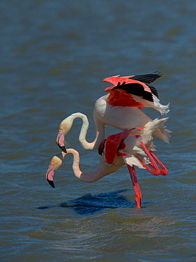 Greater Flamingos (Phoenicopterus roseus) mating, Camargue, France, May  -  Loic Poidevin/ NPL