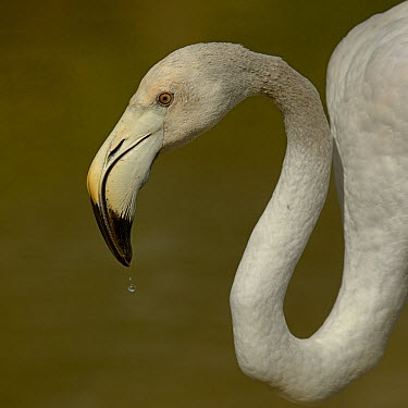 Greater Flamingo (Phoenicopterus roseus) juvenile, drinking, Camargue, France, May  -  Loic Poidevin/ NPL
