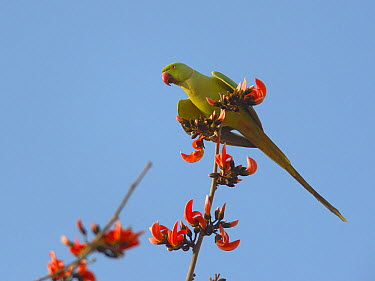 Rose ringed parakeet (Psittacula krameri) on branch feeding on seeds Ranthambhore National Park, India, April  -  Loic Poidevin/ NPL