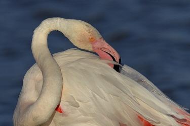 Greater Flamingo (Phoenicopterus roseus) preening, Camargue, France, May  -  Loic Poidevin/ NPL