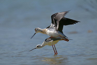 Black-winged Stilt (Himantopus himantopus) mating, Breton Marsh, France, May  -  Loic Poidevin/ NPL