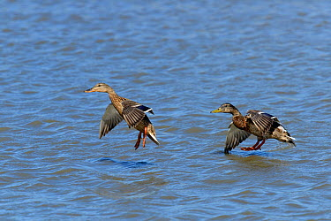 Mallard (Anas platyrhynchos) male and female taking off, Camargue, France, May  -  Loic Poidevin/ NPL