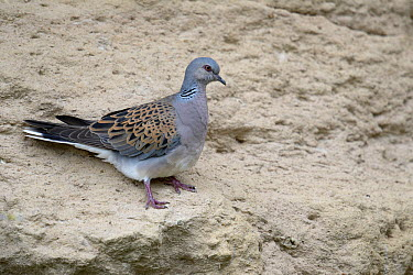 European Turtle Dove (Streptopelia turtur) on wall, Vendee France, may  -  Loic Poidevin/ NPL