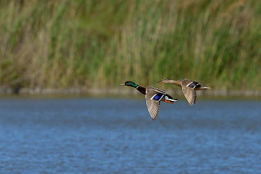 Mallard (Anas platyrhynchos) male and female in flight, Camargue, France, May  -  Loic Poidevin/ NPL