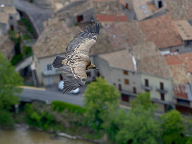 Griffon Vulture (gyps fulvus) in flight over town, Sainte May, France, May  -  Loic Poidevin/ NPL