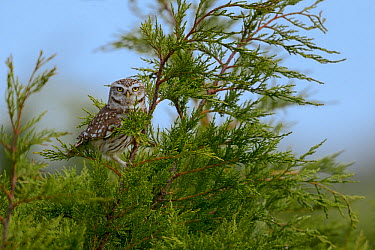 Little owl (Athene noctua) on a branch, Breton Marsh, France  -  Loic Poidevin/ NPL