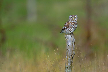 Little owl (Athene noctua) on a pole, Breton Marsh, France  -  Loic Poidevin/ NPL