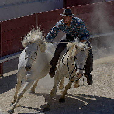 Stunt rider with two horses,during horse show, Camargue, France  -  Loic Poidevin/ NPL