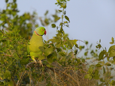 Rose ringed parakeet (Psittacula krameri) male feeding on fruit, Keoladeo National Park, India, April  -  Loic Poidevin/ NPL