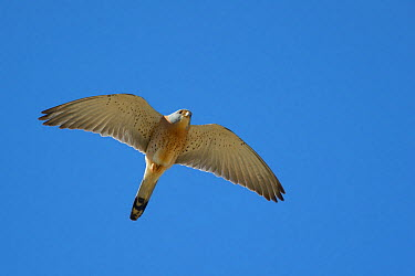 Lesser kestrel (Falco naumanni) in flight, Saint Pons des Mauchiens, France, April  -  Loic Poidevin/ NPL