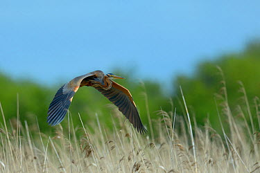 Purple Heron (ardea purpurea) in flight over reedbeds, Parc naturel regional de la Brenne, Brenne Regional Nature Park, France, April  -  Loic Poidevin/ NPL