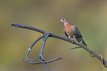 Spotted dove (Streptopelia chinensis) on a branch, India, April  -  Loic Poidevin/ NPL