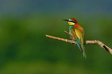 European bee-eater (Merops apiaster) on a branch Bouches du Rhone, France, May  -  Loic Poidevin/ NPL