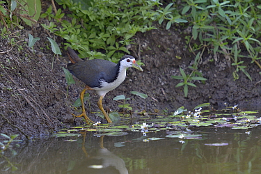White-breasted waterhen (Amaurornis phoenicurus) male, in water Keoladeo National Park, India, April  -  Loic Poidevin/ NPL