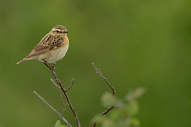Whinchat (Saxicola rubetra) on a branch Camargue, France, May  -  Loic Poidevin/ NPL