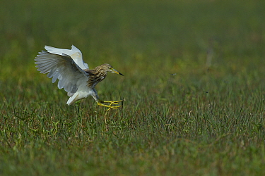 Indian pond heron (Ardeola grayii) landing, Keoladeo National Park, India, April  -  Loic Poidevin/ NPL