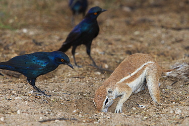 Ground squirrel (Xerus inauris) foraging and Cape Glossy Starlings (Lamprotornis nitens) waiting for insects to be thrown up by digging, Kgalagadi Transfrontier Park, South Africa  -  Ann & Steve Toon/ npl