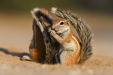 Baby ground squirrel (Xerus inauris) using its tail for shade, Kgalagadi Transfrontier Park, South Africa  -  Ann & Steve Toon/ npl
