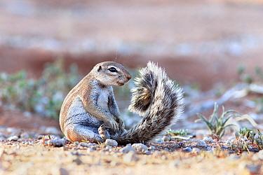 Ground squirrel (Xerus inauris) sitting on tail, Kgalagadi Transfrontier Park, Northern Cape, South Africa  -  Ann & Steve Toon/ npl