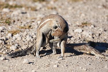 Ground squirrels (Xerus inauris) wrestling, Etosha National park, Namibia, Africa  -  Ann & Steve Toon/ npl