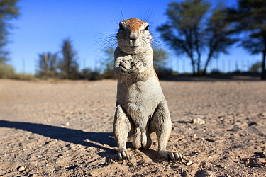 Male Ground squirrel (Xerus inauris) standing on hind legs, Kgalagadi Transfrontier Park, Northern Cape, South Africa  -  Ann & Steve Toon/ npl