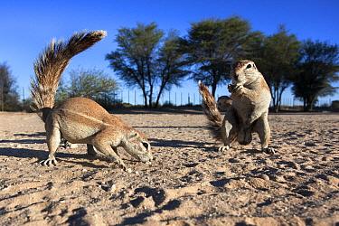 Ground squirrels (Xerus inauris) Kgalagadi Transfrontier Park, Northern Cape, South Africa  -  Ann & Steve Toon/ npl