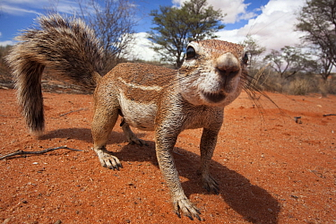 Ground squirrel (Xerus inauris) Kgalagadi Transfrontier Park, Northern Cape, South Africa  -  Ann & Steve Toon/ npl
