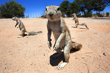 Ground squirrels (Xerus inauris) Kgalagadi Transfrontier Park, Northern Cape, South Africa non-ex  -  Ann & Steve Toon/ npl