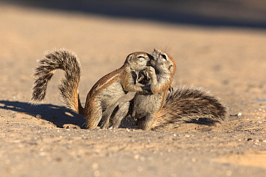Young ground squirrels (Xerus inauris) playfighting, Kgalagadi Transfrontier Park, Northern Cape, South Africa, non-ex  -  Ann & Steve Toon/ npl