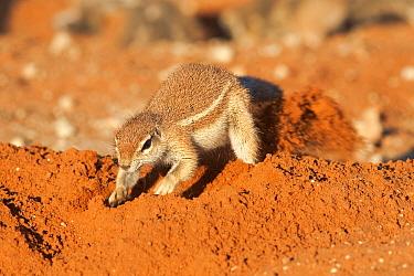 Ground squirrel (Xerus inauris) digging burrow, Kgalagadi Transfrontier Park, Northern Cape, South Africa, non-ex  -  Ann & Steve Toon/ npl