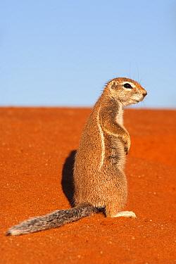 Ground squirrel on red sand dune (Xerus inauris) Kgalagadi Transfrontier Park, Northern Cape, South Africa, non-ex  -  Ann & Steve Toon/ npl