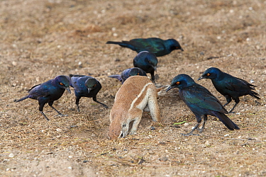 Ground squirrel (Xerus inuaris) foraging, watched by Cape glossy starlings (Lamprotornis nitens) which are waiting for insects to be thrown up by digging, Kgalagadi Transfrontier Park, South Africa, n...  -  Ann & Steve Toon/ npl