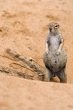 Pregnant ground squirrel (Xerus inuaris) at burrow, Kgalagadi Transfrontier Park, Northern Cape, South Africa, non-ex  -  Ann & Steve Toon/ npl