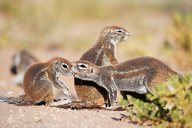 Ground squirrel (Xerus inauris) grooming baby at burrow, Kgalagadi Transfrontier Park, Northern Cape, South Africa, non-ex  -  Ann & Steve Toon/ npl