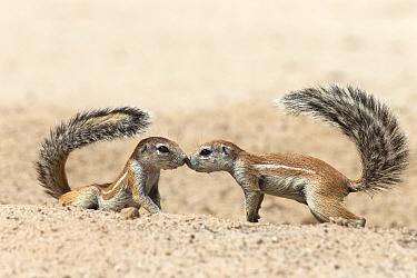 Ground squirrels (Xerus inauris) greeting, Kgalagadi Transfrontier Park, Northern Cape, South Africa, non-ex  -  Ann & Steve Toon/ npl