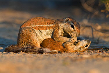 Ground squirrel (Xerus inauris) grooming baby, Kgalagadi Transfrontier Park, South Africa  -  Ann & Steve Toon/ npl