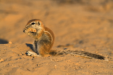 Baby Ground squirrel (Xerus inauris) eating seed pod, Kgalagadi Transfrontier Park, South Africa  -  Ann & Steve Toon/ npl
